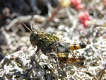 Pink-winged grasshopper (Bryodema tuberculata)